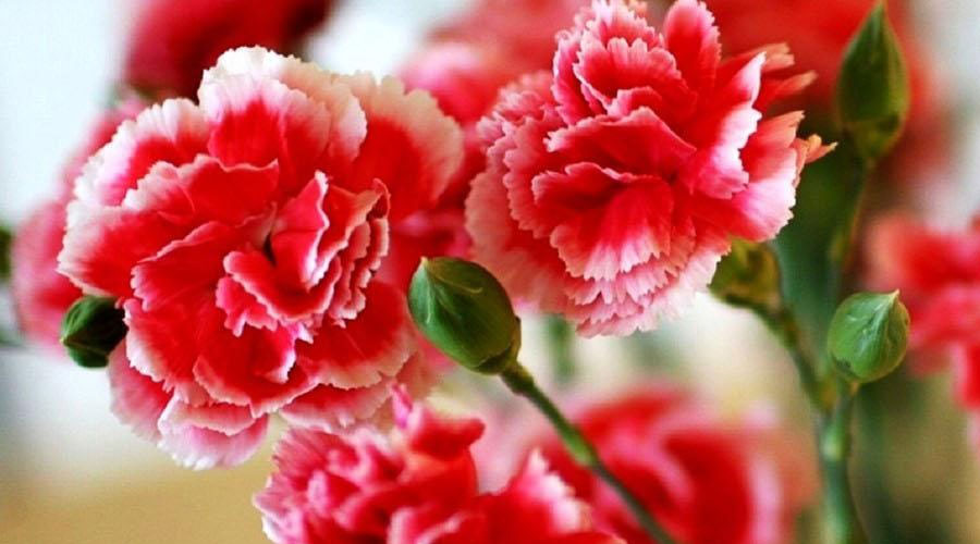 Daylilies in australia carnations ideal care – growing cuttings to.
