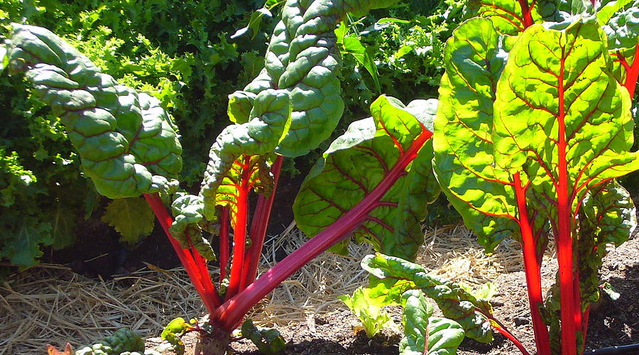The Swiss Chard Harvesting History