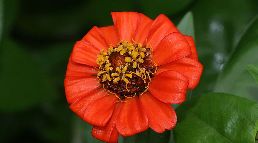 The Zinnia A Flower For All Gardens Harvesting History