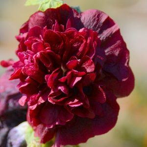 Hollyhock, Chater's Double