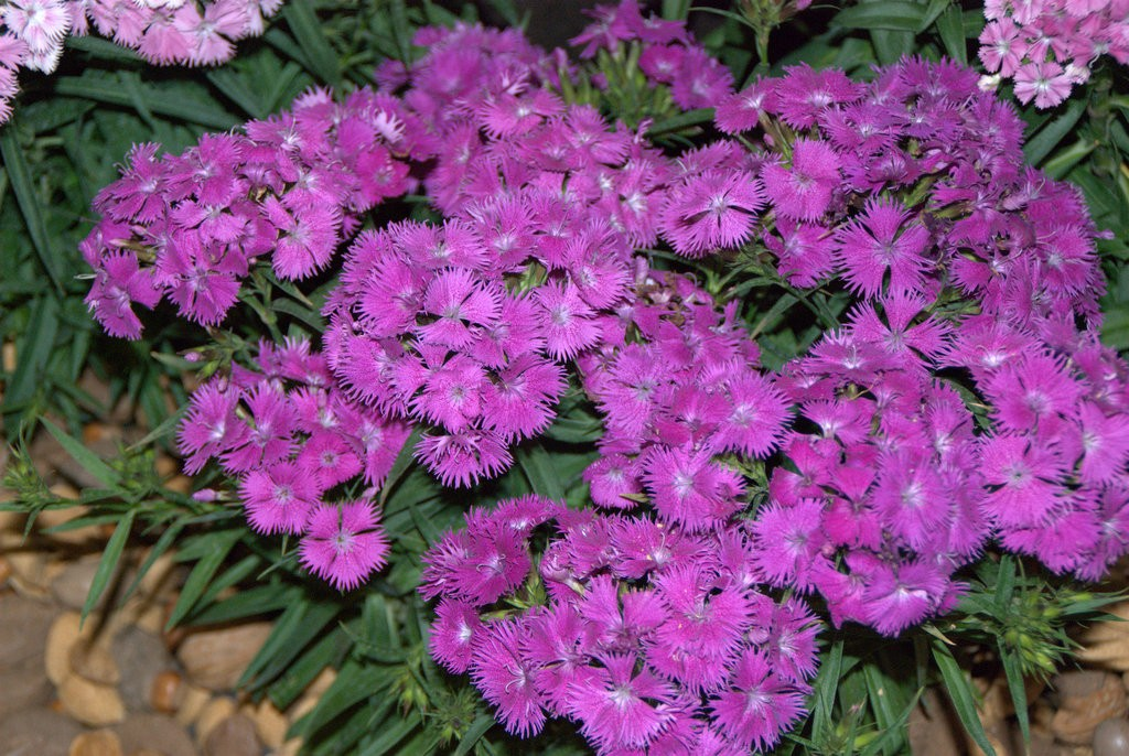 Sweet William Double