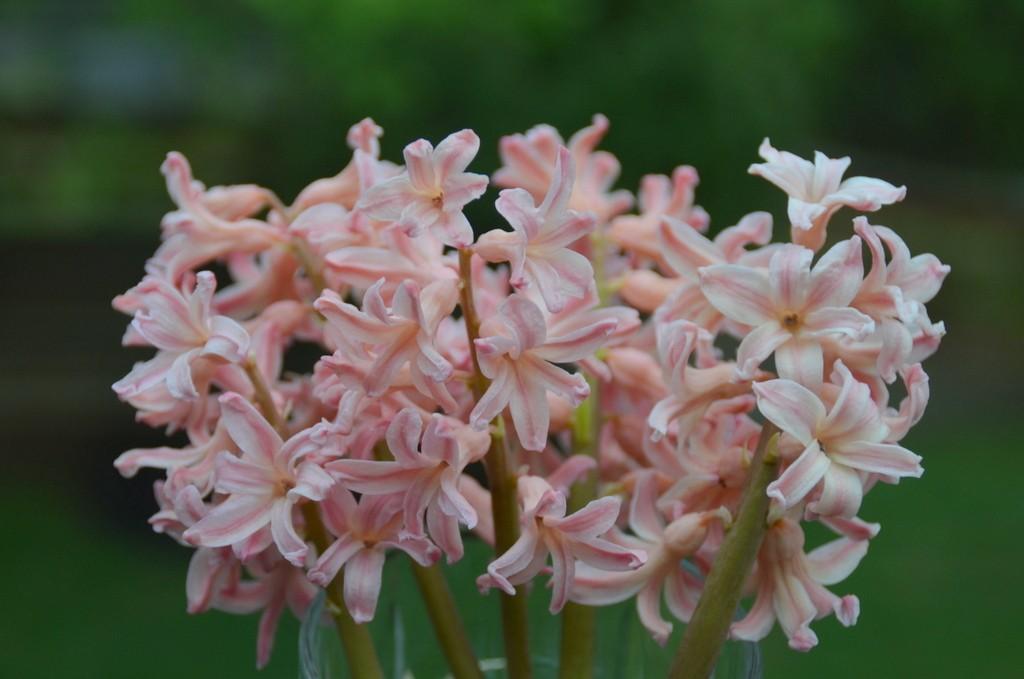 Gypsy Queen Hyacinth