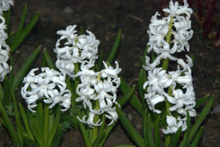 Hyacinth White Peqrl