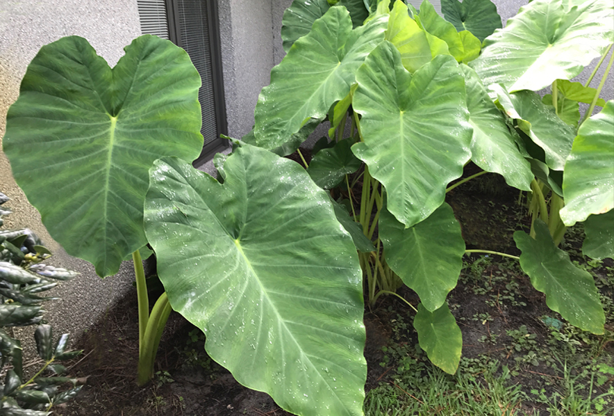 Shop Mammoth Elephant Ear Colocasia Esculenta Price Includes Shipping Strongly Deer Resistant And Repellent And Other Seeds At Harvesting History