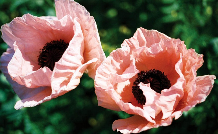 Shop poppy iceland giant mix and other seeds at harvesting history 494 in stock mightylinksfo