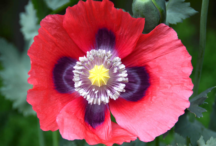 Shop poppy red american legion and other seeds at harvesting history 496 in stock mightylinksfo