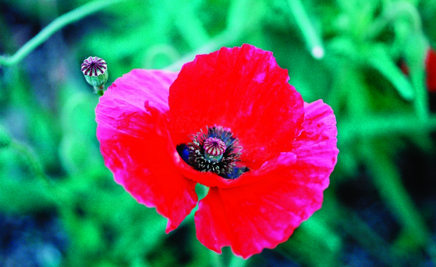 Shop poppy oriental scarlet and other seeds at harvesting history hhflowpoppy oriental scarlet mightylinksfo Images