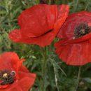 Poppy, Oriental Scarlet