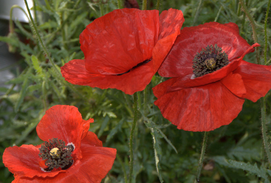 Shop poppy oriental scarlet and other seeds at harvesting history 488 in stock mightylinksfo