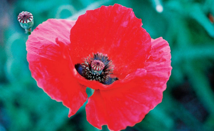 Shop poppy red american legion and other seeds at harvesting history hhflowpoppy red american legion mightylinksfo Images