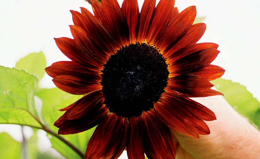 Shop Sunflower, Red Sun (Velvet Queen) and other Seeds at ...