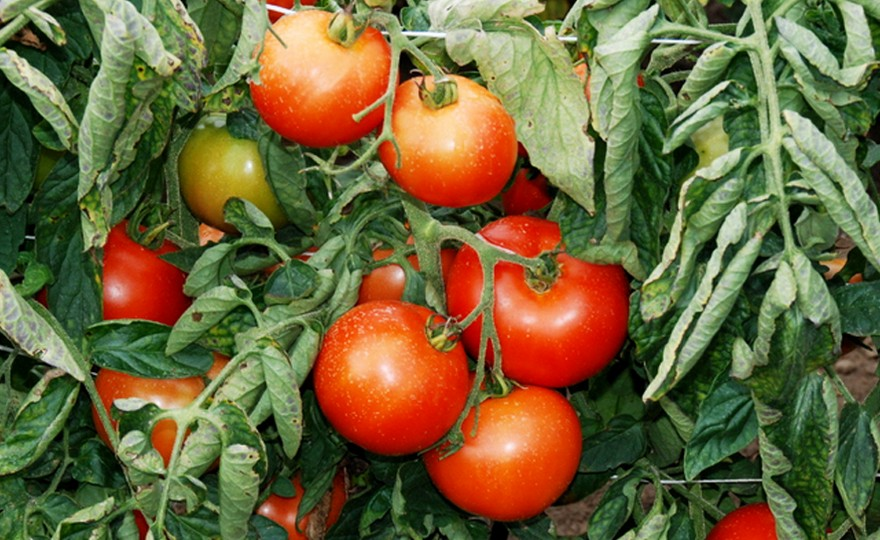 Shop Slicing Tomato, Czech's Bush and other Seeds at ...