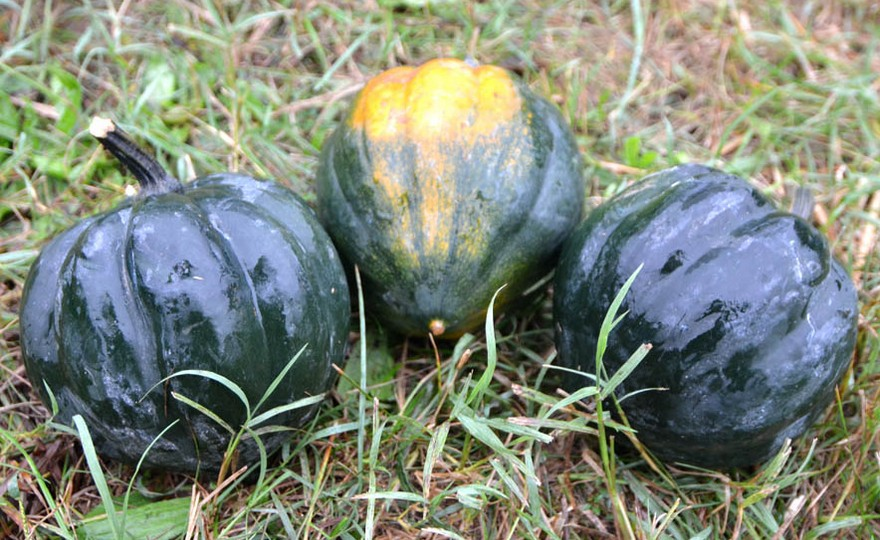 Shop table queen or acorn and other seeds at harvesting for Table queen squash