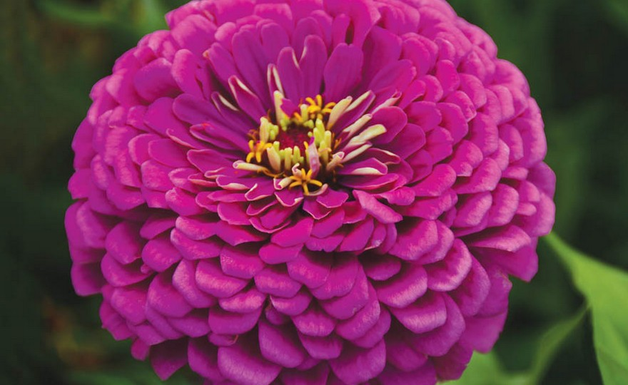 Shop Zinnia Royal Purple Giant Dahlia And Other Seeds At Harvesting History