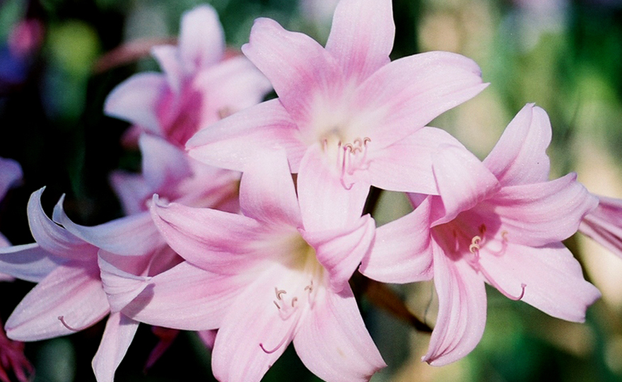 Shop Bella Donna Lilies And Other Seeds At Harvesting History