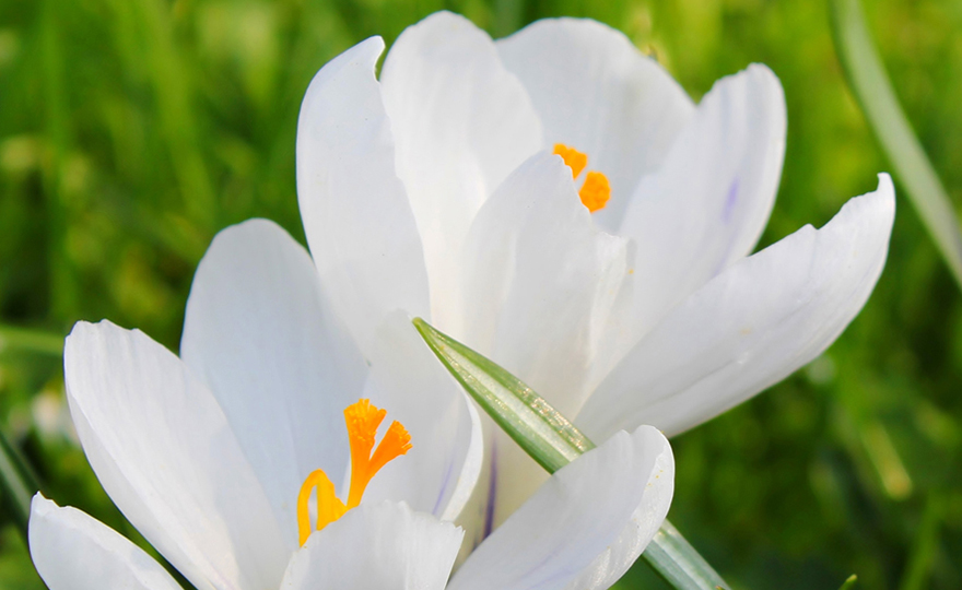 White_Autumn_Crocus