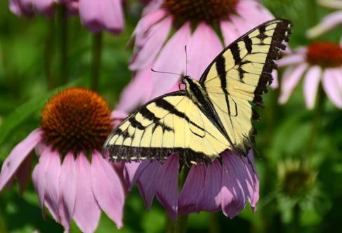 1-Main_Bee on Purpleconeflower