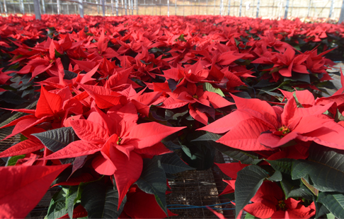 The Poinsettia's Story-America's Christmas Flower ...