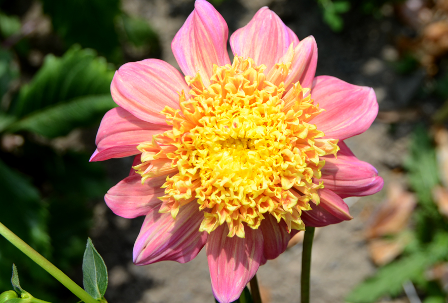 Shop Anemone Flowering Dahlia Floorinoor And Other Seeds At